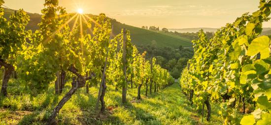 Alle Produkte der Vinoperfect Linie enthalten den natürlichen Aktivstoff Viniferine, der aus dem Saft der Weinranken gewonnen wird und die Haut zum Strahlen bringen kann.